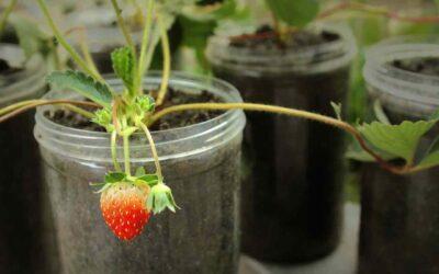 Cómo cultivar fresas en macetas de jardín, terraza o balcón